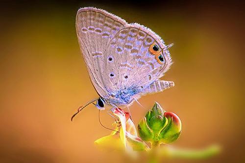عکاس برای ثبت تصویر این پروانه زیبا در آب فرو رفته است. آچینتیا شانکار آدهیکاری، ۳۲ ساله اهل کلکته تصویر این پروانه را که به وفور در مناطق روستایی بنگال دیده میشود، ثبت کرده ست. او میگوید: «پروانه را روی یک غنچه دیدم، اما برای اینکه عکس خوبی از آن ثبت کنم باید به درون دریاچه میرفتم و تا نیمه درون آب میرفتم.»