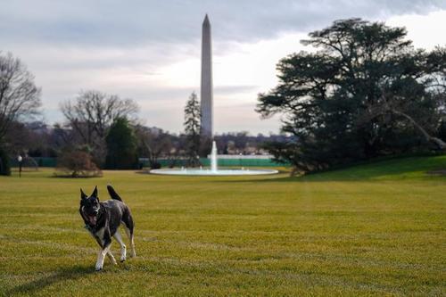 2 سگ خانگی جو و جیل بایدن رییس جمهوری و بانوی اول جدید آمریکا دیروز از خانه رییس جمهوری آمریکا در شهر ویلمینگتون ایالت