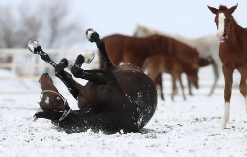 غلت زدن کره اسب تازه متولد شده در برف/ اسکی شهیر ترکیه/ خبرگزاری آناتولی