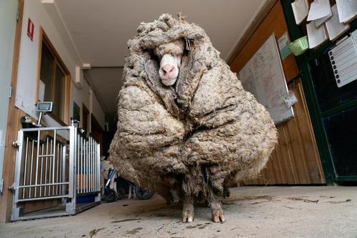 زدن 35.4 کیلوگرم پشم از روی بدن گوسفند استرالیایی در ایالت ویکتوریا استرالیا/ رویترز