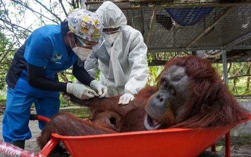 انتقال یک اورانگوتان 9 ساله به جنگل/ اندونزی/ EPA