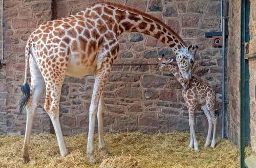 زرافه باغ وحش چستر بریتانیا در حال نوازش فرزند 9 روزه اش/ PA
