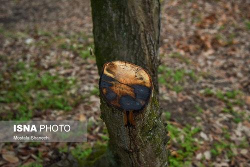 قطع درختان جنگل هیرکانی