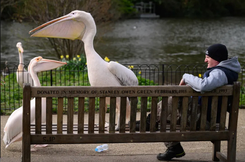پلیکان های پارکی در لندن/ گتی ایمجز