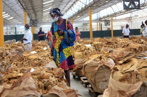 بازار فروش برگ تنباکو در شهر هراره پایتخت زیمبابوه/ EPA