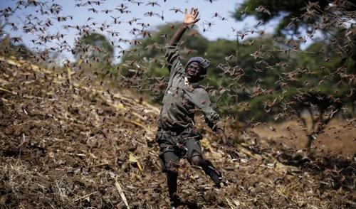 حمله ملخ های صحرایی به مزارع کشاورزی آفریقا/ آسوشیتدپرس