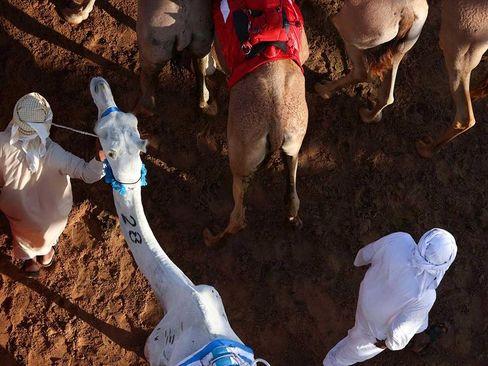 مسابقات سالانه شترسواری در دوبی/ خبرگزاری فرانسه