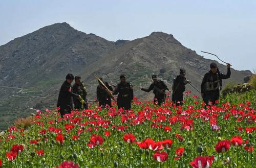 نیروهای پلیس پاکستان در حال تخریب یک مزرعه کشت خشخاش/ خبرگزاری فرانسه