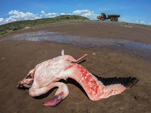مرگ یک فلامینگوی مهاجر بر اثر برق گرفتگی و اتصال با کابل برق در نزدیکی دریاچه ای در کنیا/ EPA