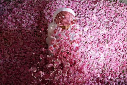 کارگاه تولید عصاره (گلاب) و روغن گل رز در شهر طائف عربستان سعودی/ خبرگزاری فرانسه