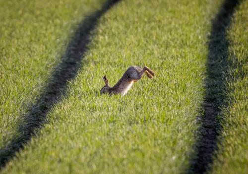 عبور خرگوش از مزرعه ای در فرانکفورت آلمان/ آسوشیتدپرس