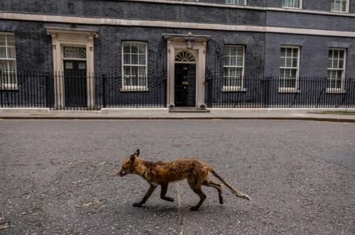 عبور یک روباه از مقابل ساختمان مقر نخست وزیری بریتانیا در خیابان داونینگ شهر لندن/ گتی ایمجز