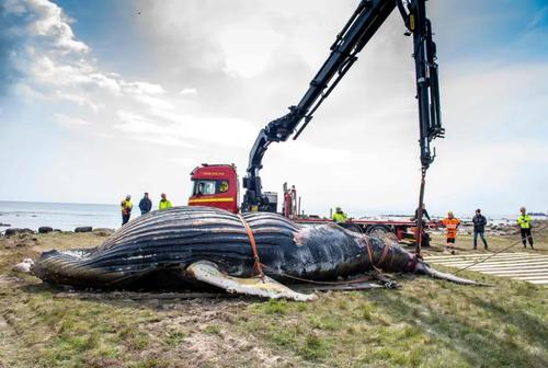 انتقال یک وال از ساحل به دریا در سوئد/ خبرگزاری فرانسه