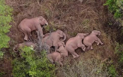 استراحت فیل ها در جنگلی در نزدیک شهر کانمینگ در استان یونان چین. این فیل های وحشی چند روز پیش با طی مسافتی بیش از 500 کیلومتر از زیستگاه طبیعی خود به شهر کانمینگ آمده بودند./ خبرگزاری فرانسه