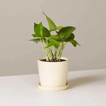 پیچک شیطانی، گیاه پوتوس (Epipremnum Aureum)
