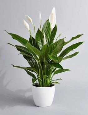 سوسن صلح (Spathiphyllum 'Mauna loa')