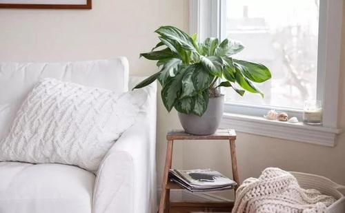 گیاه همیشه سبز چینی (Aglaonema Modestum)