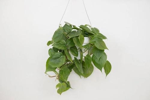 فیلودندرون برگ قلبی (Philodendron Cordatum)