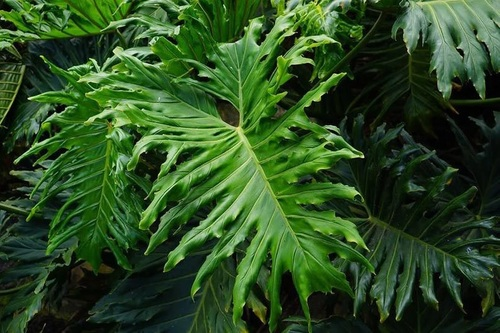 فیلودندرون سیلوم (Philodendron Bipinnatifidum)
