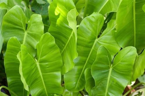 فیلودندرون گوش فیلی (Philodendron Domesticum)