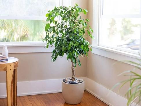 انجیر گریان (Ficus Benjamina)
