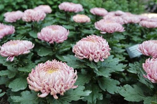 گل داوودی گلکار (Chrysanthemum Morifolium)