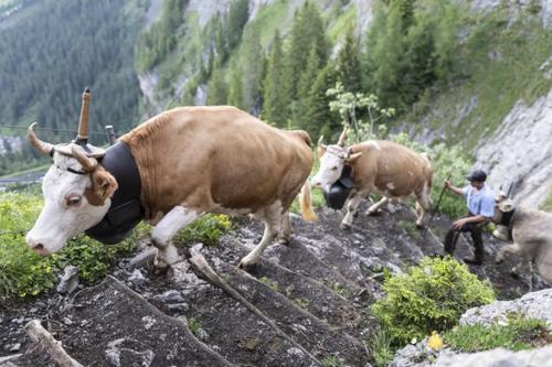 کوچ دام ها به چراگاه های تابستانی در سوییس/ EPA