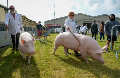 نمایشگاه سالانه کشاورزی و دامداری در اِکستِر بریتانیا/ گتی ایمجز