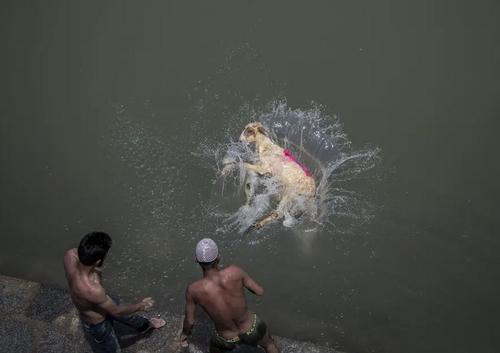 شستشوی گوسفندان در رودخانه ای در کشمیر پیش از انتقال آنها به بازار فروش در شب عید قربان / آسوشیتدپرس