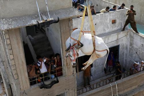 انتقال یک گاو از محل نگهداری در پشت بام یک خانه در شهر کراچی پاکستان به بازار فروش احشام عید قربان/ رویترز و خبرگزاری آناتولی