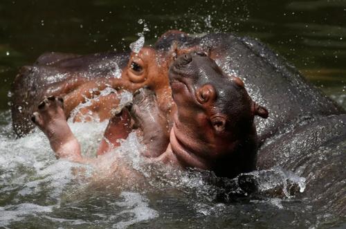اسب های آبی باغ وحشی در مکزیک/ EPA