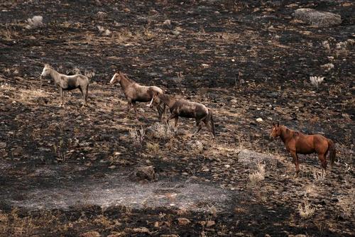 اسب ها در زمین های آتش گرفته و سوخته در ایالت واشنگتن در شمال غرب ایالات متحده آمریکا/ رویترز