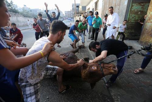 قربانی کردن یک گاو به مناسبت عید قربان در نوار غزه/ رویترز