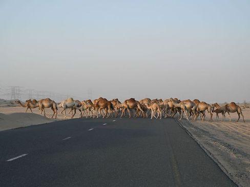 عبور گله شتر از جاده ای در نزدیکی شهر دوبی/ گلف نیوز