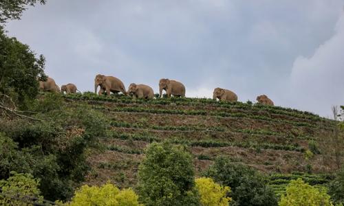 عبور یک گله فیل وحشی آسیایی از تپه های مشرف بر روستایی در چین/ گتی ایمجز