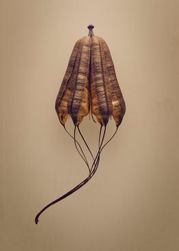 پیپ مرد هلندی (Aristolochia macrophylla) – این تصویری واضح از چگونگی تکامل طبیعت برای ایجاد سازگاری هایی به واقع کاربردی است. این دانه به خوبی برای پرواز و جابجایی در باد شکل گرفته است.