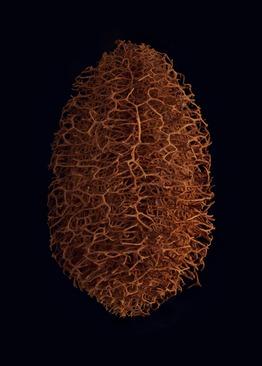 کدوی اسفنجی (Luffa sepium) – این گیاه بومی آمریکای جنوبی میوه هایی کوچک دارد و این نمونه یک فضای داخلی خشک شده را نشان می دهد.