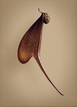 ملمبو (Pterocymbium tinctorium) – این درخت بزرگ می تواند تا 160 فوت (49 متر) ارتفاع داشته باشد و شکل میوه آن در انتخاب نام علمی Pterocymbium موثر بوده که در یونانی به معنای