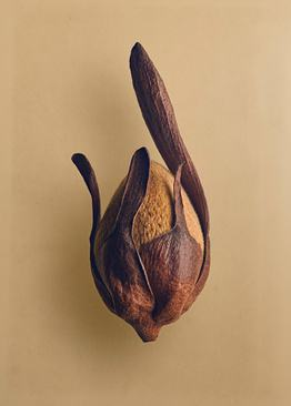 سرایا دوان کسار (Shorea fallax) – این دانه از گونه ای بومی جزیره بورنئو آمده است که درختان آن تا ارتفاع 200 فوت (61 متر) رشد می کنند. باله های آن همانند پره های هلکوپتر عمل کرده و از باد برای پخش دانه ها استفاده می شود.