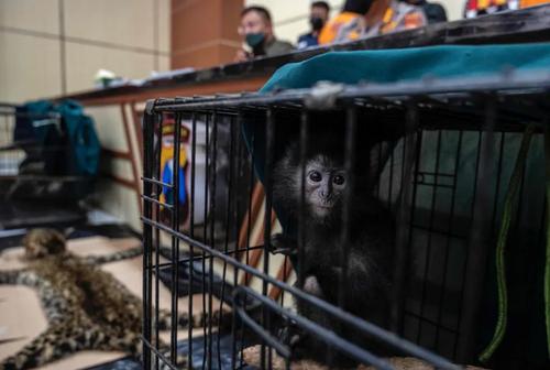 دستگیری قاچاقچیان حیوانات در سورابایا اندونزی/ خبرگزاری فرانسه